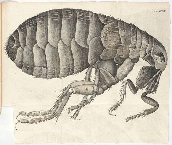 Black and white ink illustration of a flea from 1665