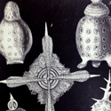 Pen and ink illustrations of marine based single celled organisms