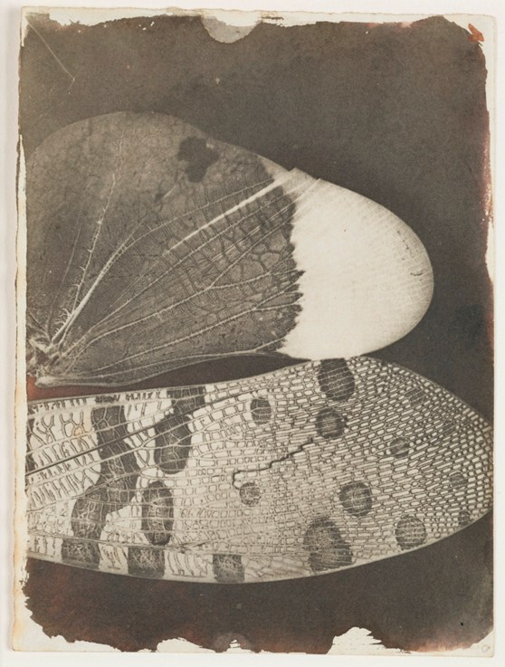 Early black and white photograph by William Henry Fox Talbot of a close up shot of a pair of butterfly wings