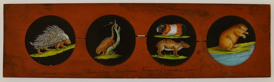 Colour photograph of Copper-Plate Slider by Carpenter and Westley showing elements of Zoology mammalia porcupine Brazilian porcupine variegated and spotted cavies and beaver