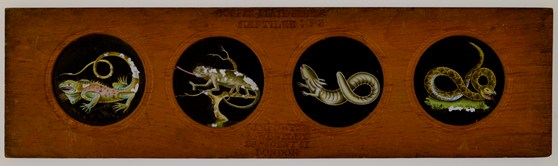 Copper Plate Slider by Carpenter & Westley elements of Zoology amphibia American guana chameleon siren and banded rattlesnake