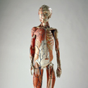 Colour photograph of a papier mache anatomical model of the human body