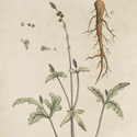 Ink coloured illustration of the Common Purple Vervain root