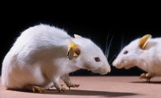 Colour photograph of freeze dried genetically engineered mice