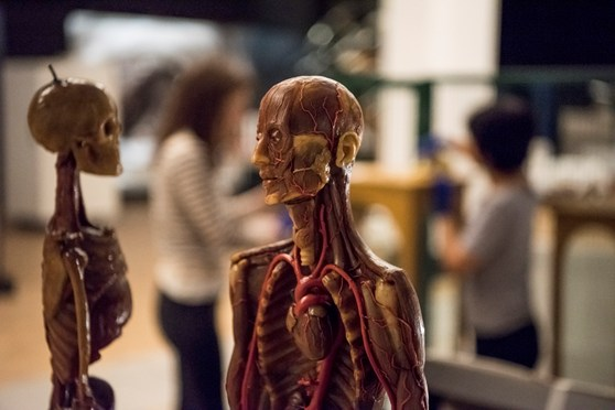 Colour photograph of an human anatomical wax model
